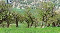 derakht fereydounshahr pounezar (14)