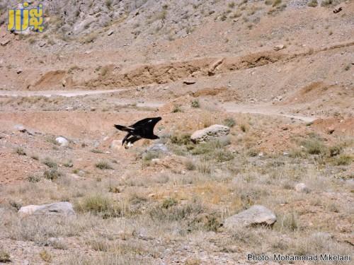 عقاب تالابی