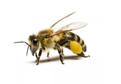 عکس/ مقایسه نیش زنبور عسل و سوزن