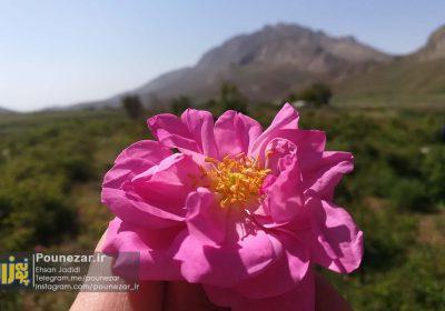 تصاویر| آغاز فصل برداشت گل محمدی در غرب استان